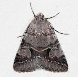 8681 Graphic Moth Little Manetee River St Pk Fl 3-8-15