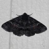 8683 Pseudanthracia coracias Moth Kissimmee Prairie St Pk 3-11-13