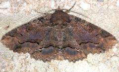 8689 Lunate Zale Moth Carter Cave St Pk Ky 4-23-13