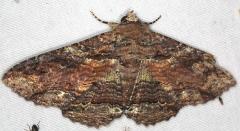 8689 Lunate Zale Moth yard 9-1-15 (1)_opt