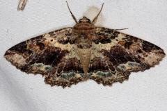 8692 Maple Zale Moth Silver Lake Cypress Glenn Fl 3-19-15