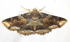 8697 Colorful Zale MothCarter Cave St Pk Kentucky 4-23-13 (125)a