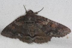 8699 Oblique Zale Moth Little Manetee River St Pk Fl 3-8-15