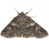 8703 Zale duplicata (Pine false looper Moth) yard 5-1-13 (1)_opt