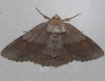 8707 Washed-out Zale Moth Thunder Lake UP Mich 6-21-14