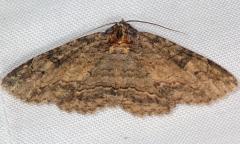 8709 Black-eyed Zale Moth yard 8-12-16