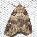 8713 Bold-based Zale Moth Lake Kissimmee St Pk Fl 2-26-13