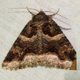 8714 Double-banded Zale Moth Gold Head Branch St Pk 2-16-12