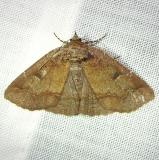 8716 One-lined Zale Moth Gold Head Branch St Pk 2-15-12