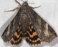 8719 Locust Underwing Moth Shawnee St Pk Oh 6-15-13