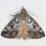 8720 Eubolina Moth Campsite 119 Falcon St Pk Texas 10-26-16_opt