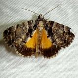 8721 False Underwing Moth Jenny Wiley Ky 4-26-12