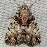 8721 False Underwing Moth Jenny Wiley St Pk KY 4-25-12