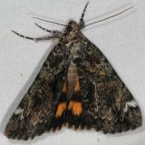 8721 False Underwing Moth yard 6-29-16 (5)_opt