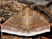 8723 Mimophisma delunaris NABA Gardens Texas 11-3-13