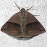 8725 Neadysgonia similis Alexander Springs Ocala Natl Forest 3-18-13