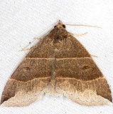 8727 Maple Looper Moth Thunder Lake UP Mich 6-23-13