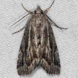 8728 Cutina albopunctgella Silver Lake Cypress Glenn Fl 3-16-15