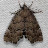 8729.1 Cutina aluticolor Silver Lake Cypress Glenn Fl 3-16-15