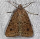 8733 Vetch Looper Moth Little Manetee River St Pk Fl 3-8-15