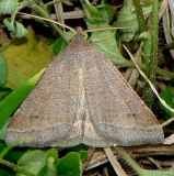 8733 Vetch Looper Moth Payne's Prairie St Pk 3-22-12