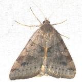 8733 Vetch Looper Moth yard 8-11-13