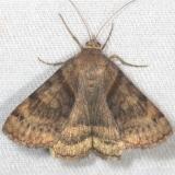 8738 Clover Looper Moth yard 7-16-13
