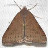 8739 Forage Looper Moth female yard 8-31-12