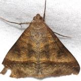 8743 Small Mocis Moth Alexander Springs Ocala Natl Pk 3-20-13