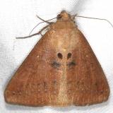 8743 Small Mocis Moth Campsite 119 Falcon St Pk 10-22-16_opt