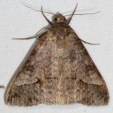 8743 Small Mocis Moth yard 9-8-15