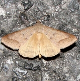 8744 Withered Mocis Moth Mahogany Hammock Everglades 2-27-12
