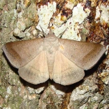 8745 Texas Mocis Moth Payne's Prairie St Pk 3-20-12