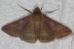 8746 Yellow Mocis Moth NABA Gardens Texas 11-2-16_opt