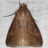 8746 Yellow Mocis Moth NABA Gardens Texas 11-3-13