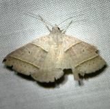 8749 Black-tipped Ptichodes Moth Kissimmee Prairie St Pk 3-8-12