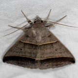 8749 Ptichodis vinculum NABA Gardens Texas 11-1-16_opt