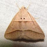 8750 Common Ptichodis Moth Gold Head Branch St Pk Fl 2-14-12