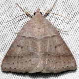 8752 Ptichodis pacalis Alexander Springs Ocala Natl Forest 3-18-13