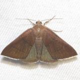 8762 Four-lined Chocolate MothLake Kissimme St Pk Fl 2-27-13