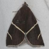8764 Short-lined Chocolate Moth Silver Lake Cypress Glenn Fl 3-16-15