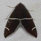 8764 Short-lined Chocolate Moth Silver Lake Cypress Glenn Fl 3-19-15