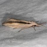 8765 Double-lined Doryodes Moth Oscar Scherer St Pk 3-13-15