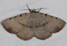 8769 Moon-lined Moth yard 5-31-14