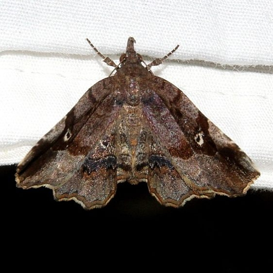 8490 Decorated Owlet Moth Ocean Pond Osceolo Natl Frst 3-25-15