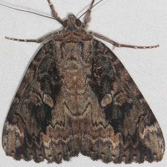 8770 Betrothed Underwing Moth Yard 8-4-17 (3)_opt