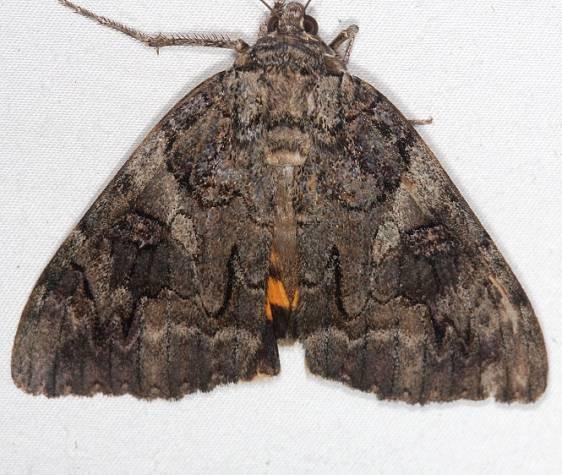 8771 Penitent Underwing Moth yard 9-20-14