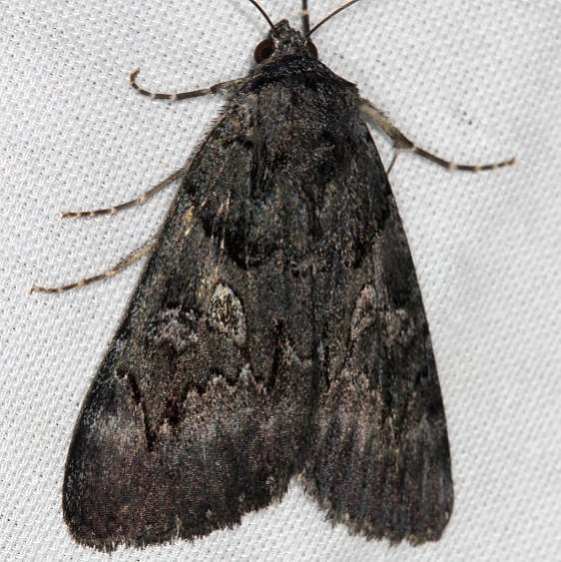 8775 Sweetfern Underwing MotThunder Lake UP Mich 9-19-13