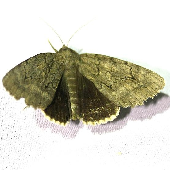 8784 Obscure Underwing at Chatteau Adams Co Oh 9-11-09