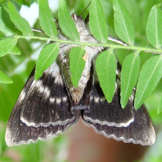 8785 Residua Underwing Moth yard 7-25-08